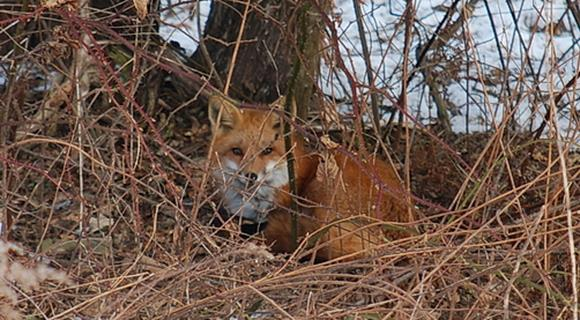 A red fox waits out an ice storm on Hayes Rd. (photo by Alison C.)